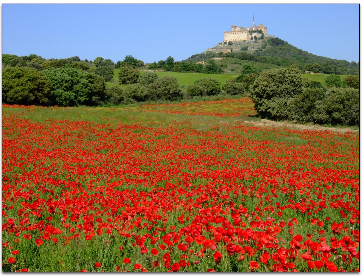 Flores de amapola related keywords flores de amapola for Amapola jardin de infantes palermo