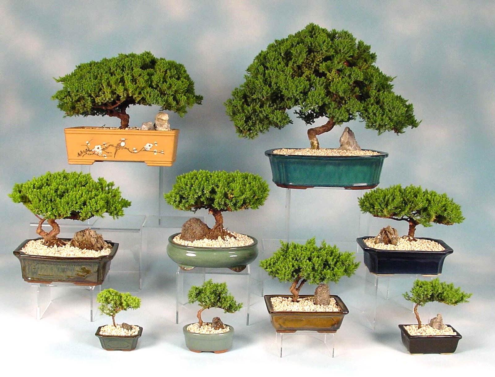 Planta del mes de marzo bonsais con un 10 de descuento garden catalunya plants sant vicen - Plantas para bonsai ...